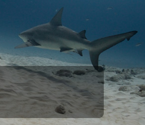 diving with bull sharks banner